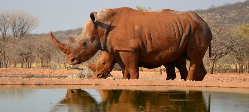 Namiba rinoceronte