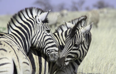 Zebre Etosha